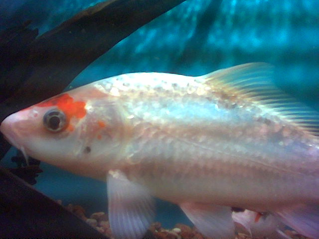 Your typical white fish with red markings.