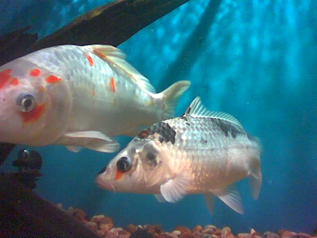 More typical white fish with red and black markings.